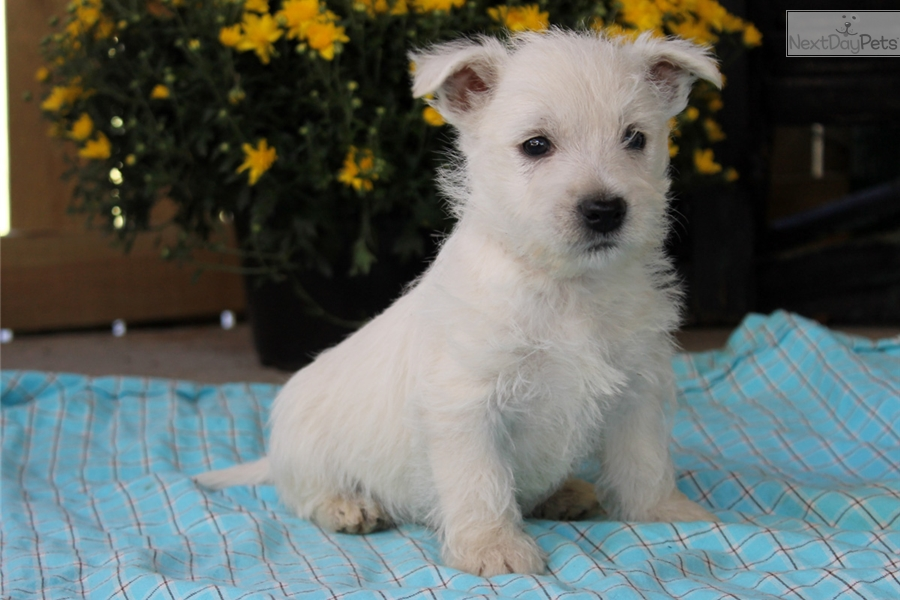 west highland terrier for sale near me west highland white terrier westie puppy for sale near 8592