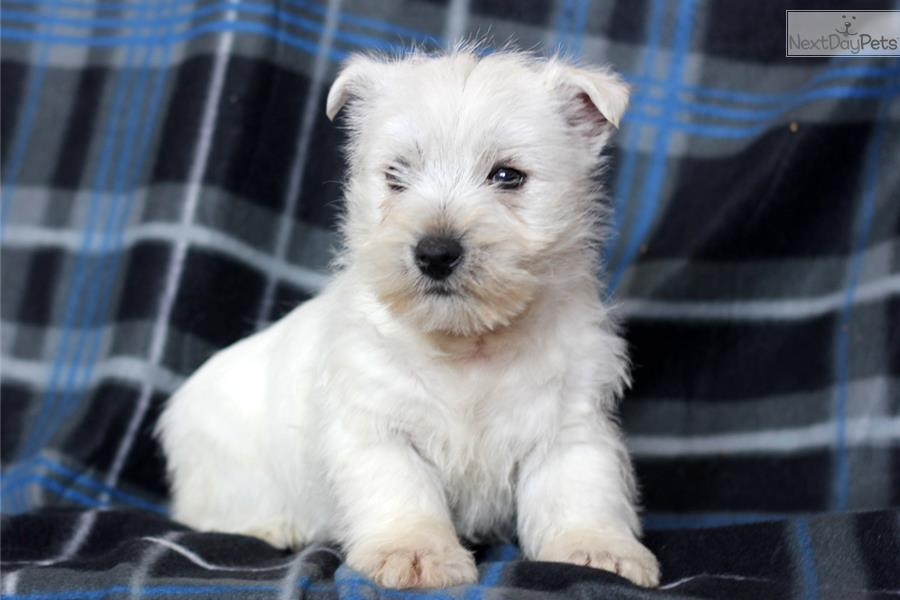west highland terrier for sale near me west highland white terrier westie puppy for sale near 3409