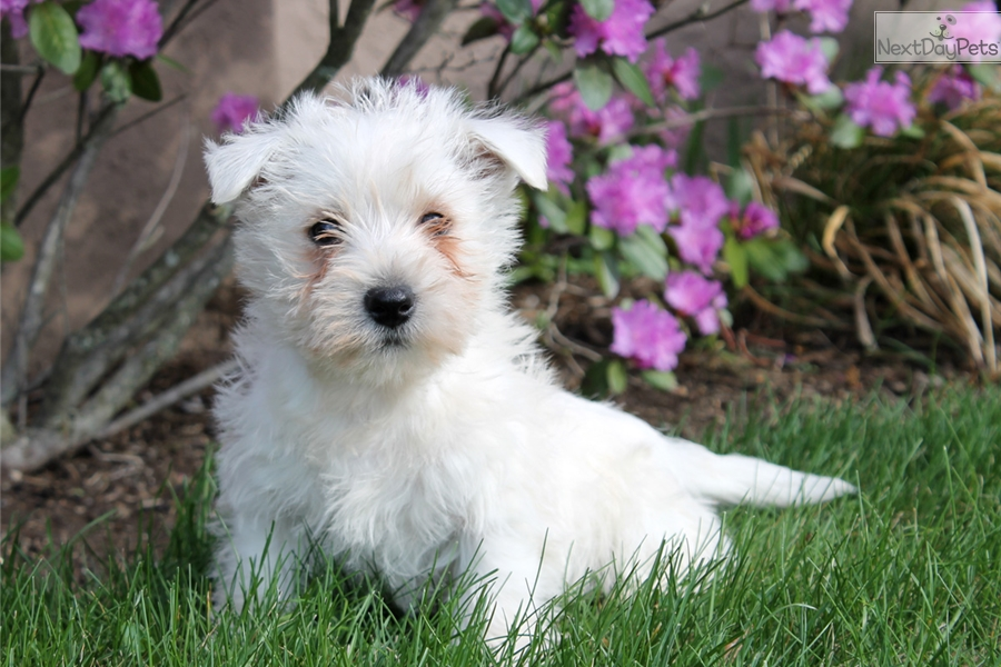 west highland terrier for sale near me west highland white terrier westie puppy for sale near 5451