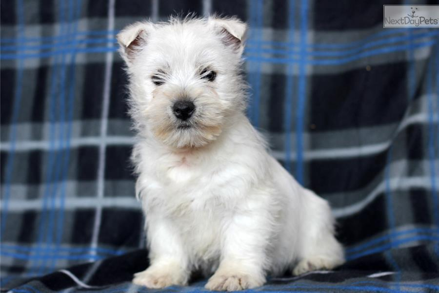 west highland terrier for sale near me west highland white terrier westie puppy for sale near 6844