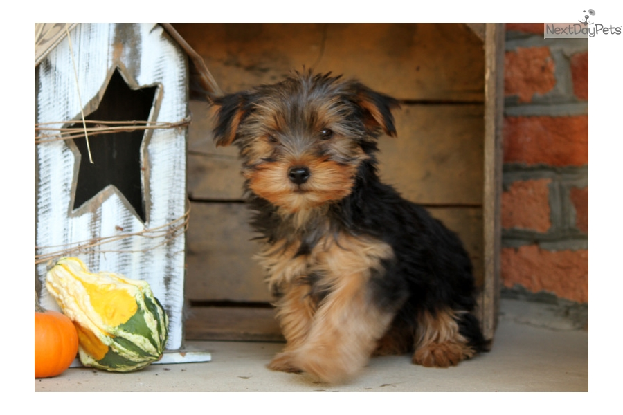 yorkie poo puppies for sale in pa tobi yorkiepoo yorkie poo puppy for sale near lancaster 8952