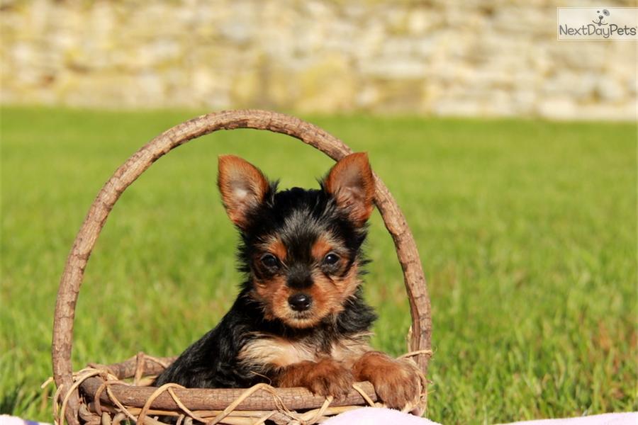 Havana terrier