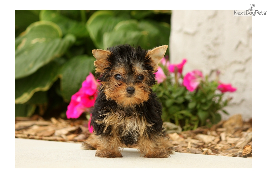 Moby Teacup Yorkshire Terrier Yorkie Puppy For Sale Near