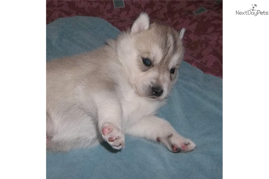 Shi Shi Siberian Husky Puppy For Sale Near Colorado Springs