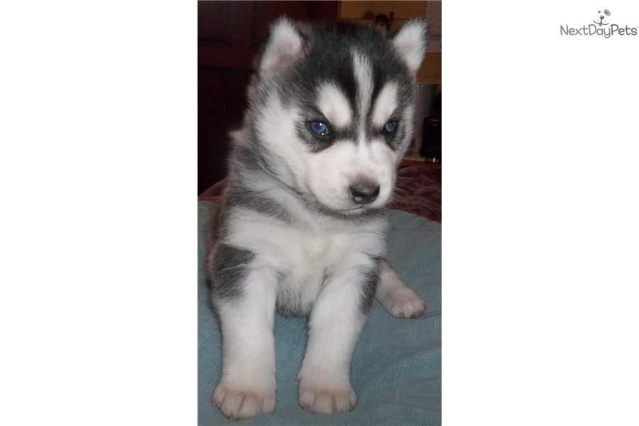 Sophie Siberian Husky Puppy For Sale Near Colorado Springs
