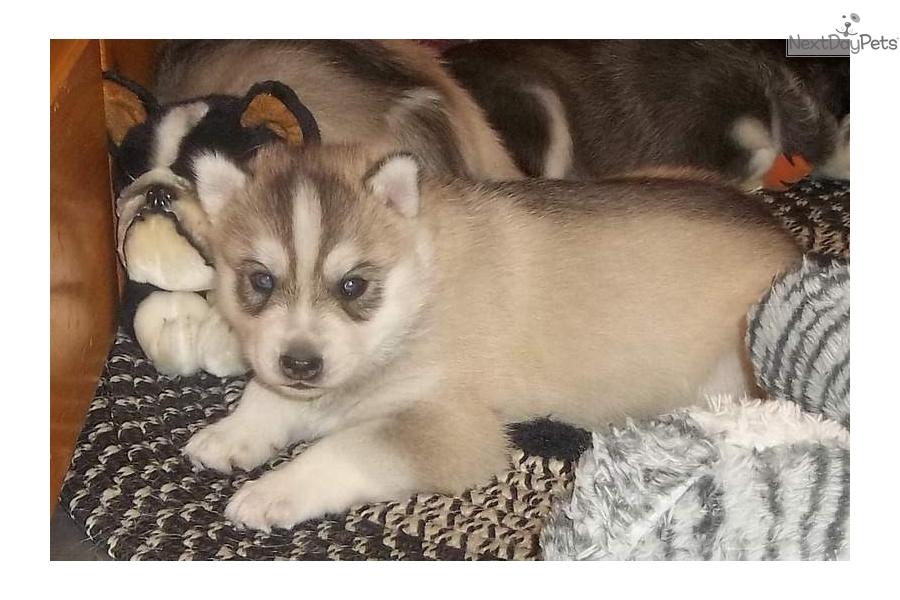 Sauli Siberian Husky Puppy For Sale Near Colorado Springs Colorado