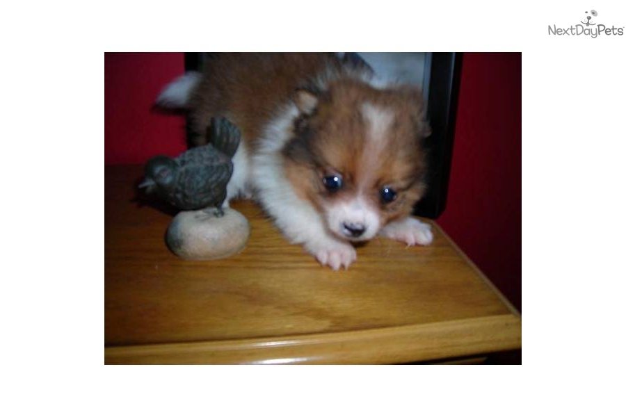 party pomeranian puppies for sale pomeranian for sale for 950 near lake of the ozarks 5466