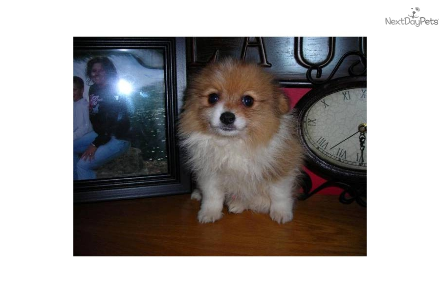 party pomeranian puppies for sale pomeranian for sale for 950 near lake of the ozarks 2157