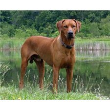 View full profile for LionHeart Rhodesian Ridgebacks