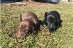Picture of WEIZSLA PUPPIES