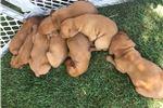 Picture of Vizsla Babies