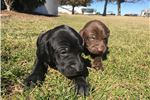 Picture of Weizsla Puppies!