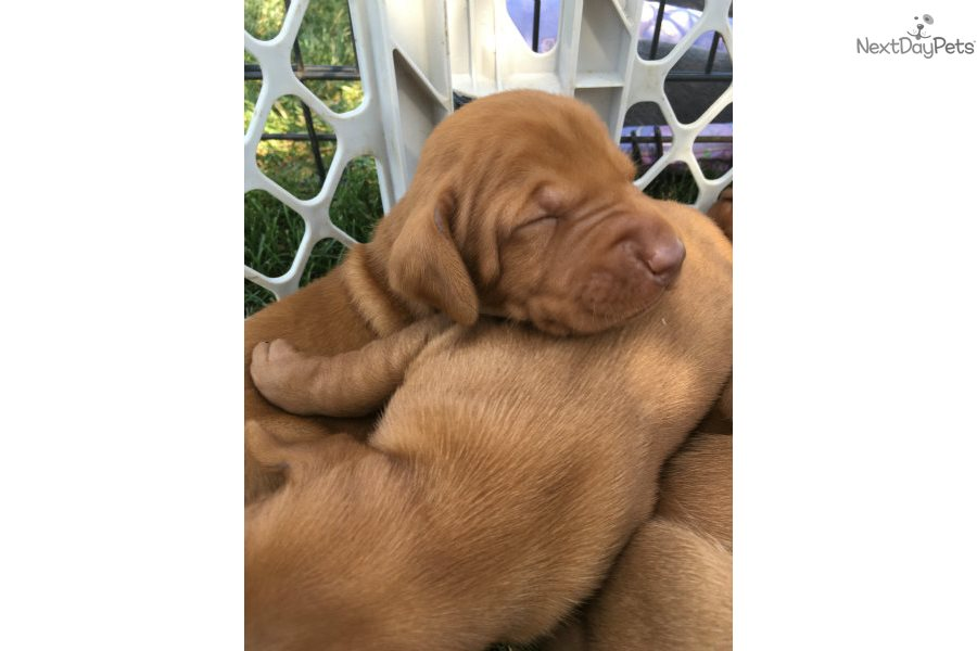 Vizsla Puppy For Sale Near Bloomington Normal Illinois E174a723 Dad1