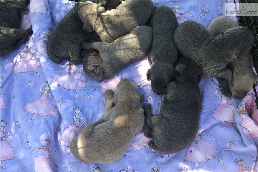 Weimaraner Puppy For Sale Near Bloomington Normal Illinois