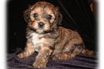 Featured Breeder of Cavachons with Puppies For Sale