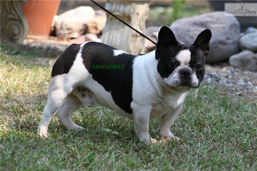french bulldog breeders texas french bulldog for sale for 2 500 near dallas fort 3695
