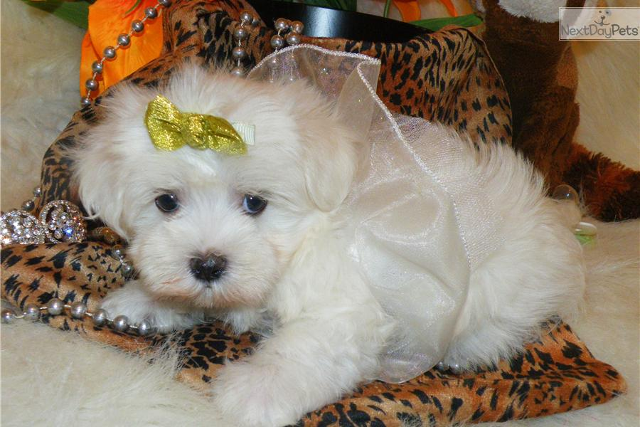 Meet Marshmallow A Cute Maltese Puppy For Sale For 1 295