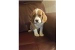 Beaglier for sale