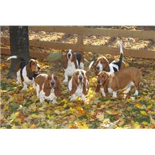 View full profile for Huggable Bassets