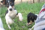 Picture of Donte'~ACA Reg RT Male Pup