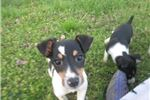 Picture of Geo~ACA Reg Male Pup