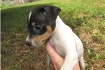 Picture of Millie~ACA Reg.Female RT Pup