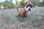 Picture of AKC Reg.Staffy Female Pup