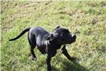 Picture of Conner~AKC Reg Staffy Male