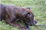 Picture of Arthur AKC~Male Staffordshire Terrier Pup