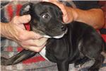 Picture of Dane~AKC Reg.Staffordshire Bull Terrier Male pup