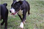 Picture of Uther~AKC Reg. Staffy Male pup
