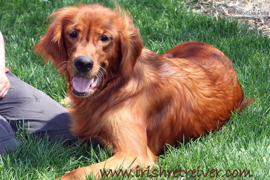 Golden Retriever Puppy For Sale Near Lafayette West Lafayette