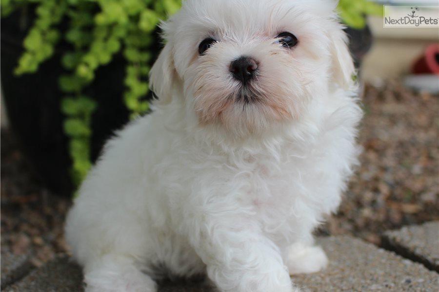 Arkie Maltese Puppy For Sale Near Southeast Ia Iowa F7c966b0 B7d1