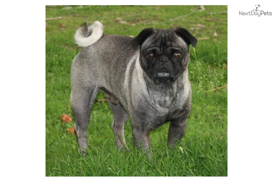 akc pug puppies for sale pug for sale for 500 near fresno madera california 6679