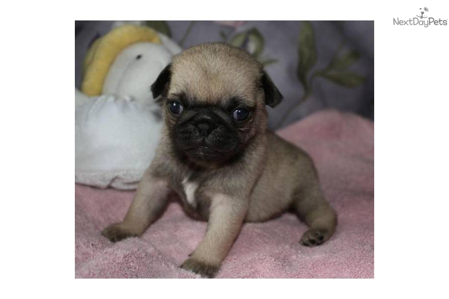 akc pug puppies for sale pug for sale for 500 near fresno madera california 1259
