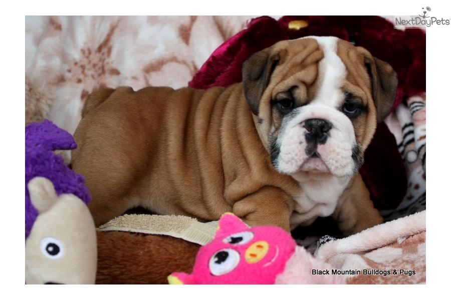 Anders English Bulldog Puppy For Sale Near San Francisco Bay Area