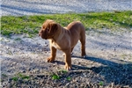 Picture of a Dogue De Bordeaux Puppy