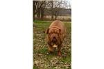 Picture of a Dogue De Bordeaux Puppy