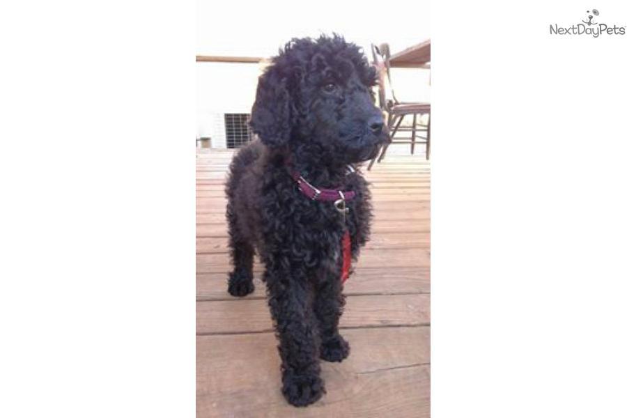 Poodle Standard Puppy For Sale Near Morgantown West