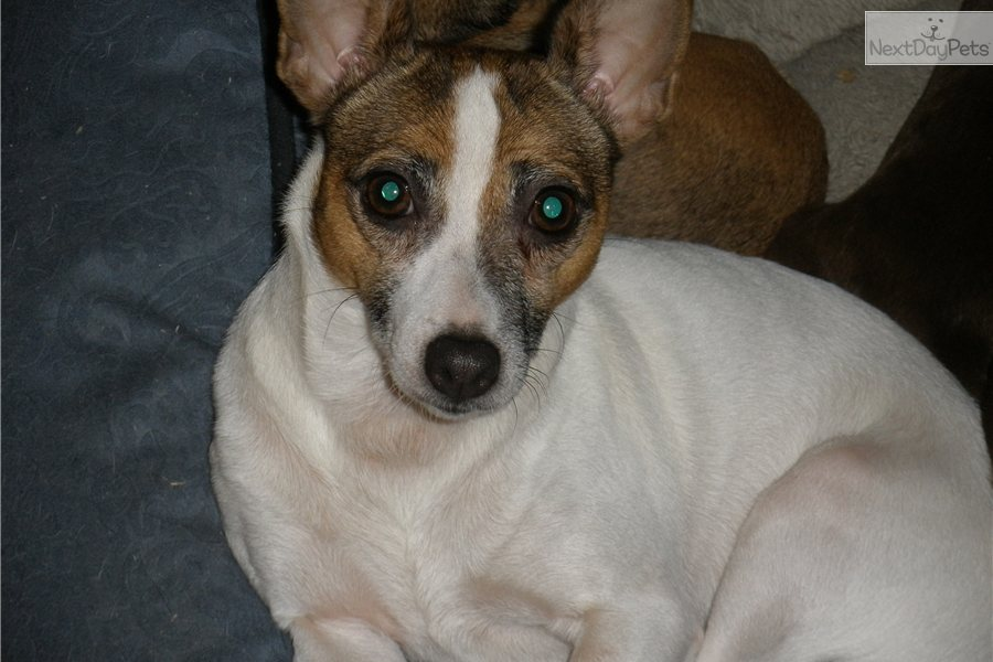 Meet Callie A Cute Rat Terrier Puppy For Sale For 250 Callie