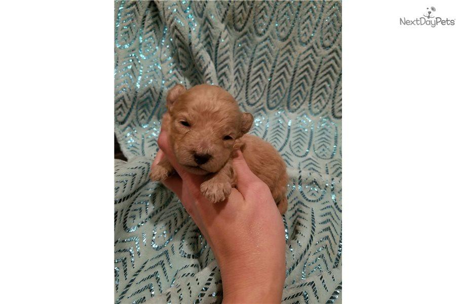 M1: Schnoodle puppy for sale near Binghamton, New York