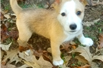 Picture of Male Podengo Pequeno Pup