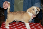 Picture of a Portuguese Podengo Puppy