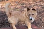 Picture of Wire Hair Podengo Pequeno Puppy