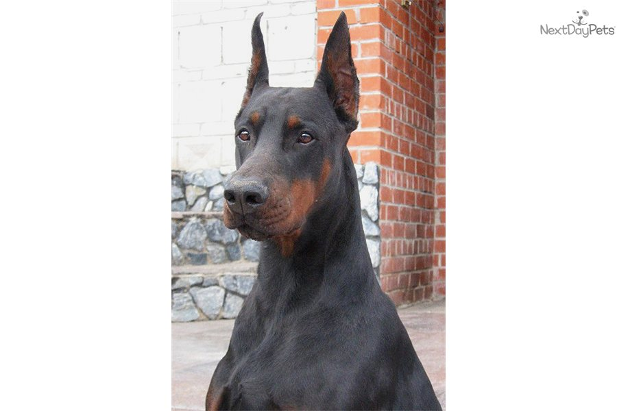 Doberman Dog Training