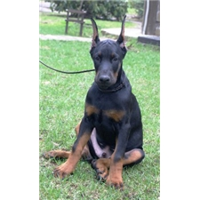 Puppies For Sale From Akc European Doberman Puppies Member Since