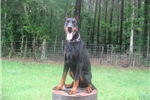 Doberman Pinschers for sale
