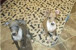 Picture of AKC Blue Male Italian Greyhound