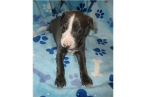 Picture of Blue male AKC