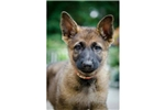 Featured Breeder of Belgian Shepherd Malinois with Puppies For Sale